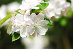 Chinese flowering apple. In the garden and sunny day many flowers stock images