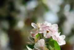 Chinese flowering apple. In the garden and sunny day many flowers royalty free stock photos