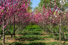 Chinese flowering apple royalty free stock image