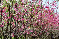Chinese flowering apple royalty free stock photos