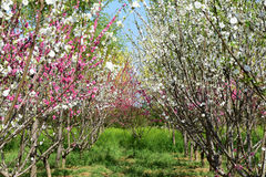 Chinese flowering apple royalty free stock images
