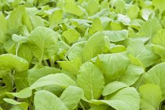 Chinese flowering cabbage Stock Image