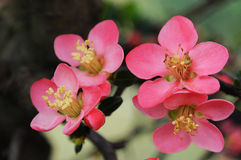 Chinese flowering crab apple. Beautiful spring flowers on the apple tree Stock Images