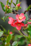 Chinese flowering crab apple. Beautiful spring flowers on the apple tree Royalty Free Stock Photo