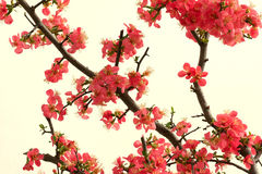 Free Chinese Flowering Crab-apple Royalty Free Stock Photography - 23057327