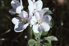 Chinese flowering crab-apple blooming. Photo Stock Image