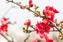 Chinese flowering crab-apple stock photo