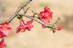 Chinese flowering crab-apple royalty free stock image