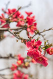 Chinese flowering crab-apple Royalty Free Stock Photography