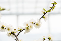 Chinese flowering crab-apple Stock Photography