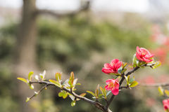 Chinese flowering crab-apple Royalty Free Stock Photo