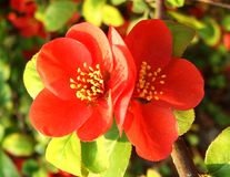 Chinese flowering crab-apple, Rea Chinese flowering crabapple stock images
