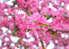 Chinese flowering crab-apple Royalty Free Stock Images