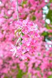 Chinese flowering crab-apple stock images
