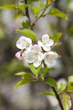 Chinese flowering crabapple Royalty Free Stock Photos