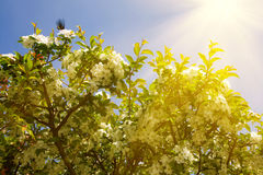 Chinese flowering crabapple Royalty Free Stock Images