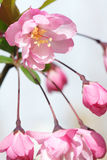Chinese flowering crabapple Stock Images