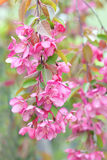 Chinese flowering crabapple Stock Image