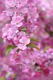 Chinese flowering crabapple Royalty Free Stock Photo