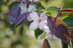 Chinese flowering crabapple Stock Photography