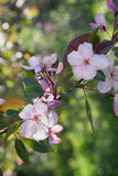 Chinese flowering crabapple Royalty Free Stock Photos