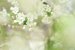 Chinese flowering crabapple Stock Photo