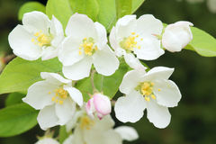Chinese flowering crabapple Royalty Free Stock Photography
