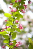 Chinese flowering crabapple Stock Photos