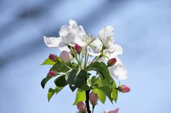 Chinese flowering crabapple. In the garden Stock Photo