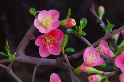 Chinese Flowing Crabapple Royalty Free Stock Photography