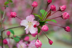 Chinese flowing crabapples blossom Royalty Free Stock Photography