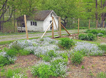 Chinese Forget Me Not flowers. Cynoglossum amabile, in enclosed garden with ice house in rear. Steepletop,Edna St. Vincent Millay historic home, Austerlitz stock photos