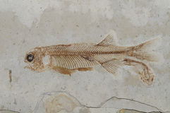 Chinese Fossil Fish : Lycoptera. With very Royalty Free Stock Image