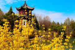 Chinese Garden. Forsythia flowers with Chinese style arbour in the background Royalty Free Stock Images