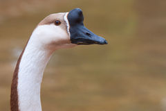 Chinese Geese Stock Photo