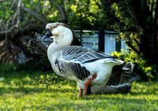 Chinese geese stock image