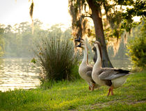 Chinese geese on the lookout together Stock Photography