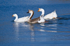 Chinese Geese (Swan Geese) Royalty Free Stock Photography