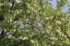 Chinese geleerdenboom met bloemen Royalty-vrije Stock Afbeelding