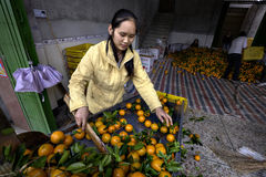 Chinese Girl citrus being washed sorted and graded after harvest Royalty Free Stock Photos