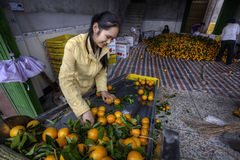 Chinese Girl sorting and handling an of new harvest oranges. royalty free stock images