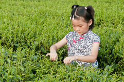 Chinese girl tea plucking Royalty Free Stock Image