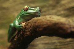 A Chinese Gliding Frog With Eyes Closed Royalty Free Stock Photo