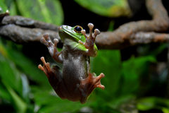 Chinese Gliding Frog. The Latin name of this frog is Rhacophorus dennysi Royalty Free Stock Photo