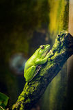 Chinese gliding tree frog Royalty Free Stock Image