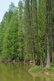 Chinese glyptostrobus pensilis trees stock photography