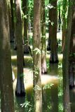 Chinese glyptostrobus pensilis trees. Glyptostrobus pensilis living in water, shown as plant feature and grow in cluster Royalty Free Stock Photo
