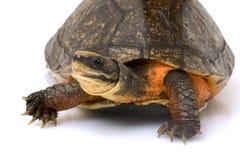 Chinese Golden Coin Box Turtle. (Cuora flavomarginata) on white background Stock Photos