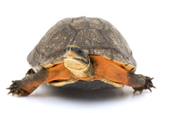 Chinese Golden Coin Box Turtle. (Cuora flavomarginata) on white background Royalty Free Stock Photography