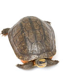 Chinese Golden Coin Box Turtle Stock Photos